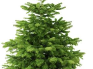 ZuHauseWohnen Gewinnspiel: Weihnachtsbaum Nordmanntanne zu gewinnen